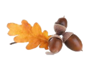 Acorn png fruit