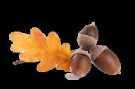 Acorn png fruit
