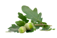 Acorn png with green leaves