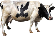 Aged Cow Png