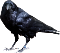 Angry Crow Clipart Png