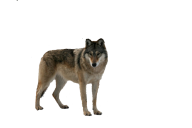 ash  wolf free png download