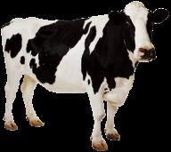 Australian Cow Png