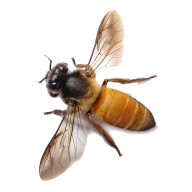 bee free png