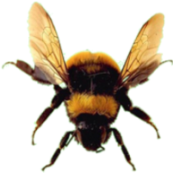 bee png download free