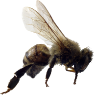 bee png download