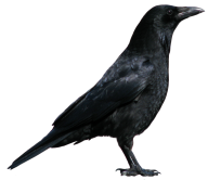 Black Crow Png