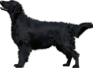 Black Dog Png