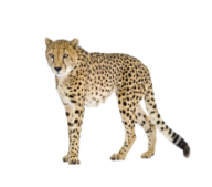 Black Tail Cheetah Png Image