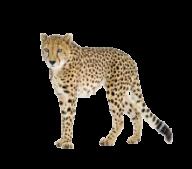 Black Tail Cheetah Png Image