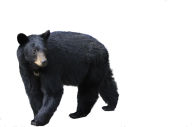 Black Walking Bear Png Image