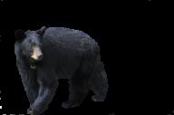 Black Walking Bear Png Image