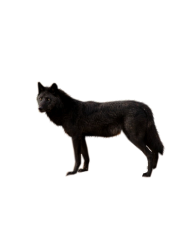 black wolf free png download