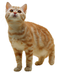 Brownish Cat Png