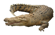 Brownish Crocodile Png