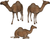 Camel Png All Position