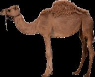 Camel Png Clipart