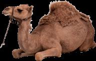 Camel Png Free Download