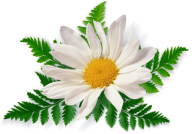 cammomile PNG free Image Download 11
