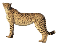 Cheetah for logo png