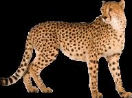 Cheetah For Web Png