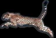Cheetah Hunting Png