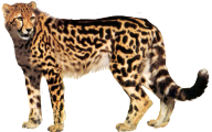 Cheetah Png For Web