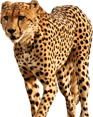 Cheetah Png Icon