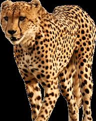 Cheetah Png Icon