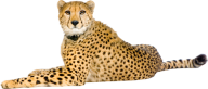 Cheetah Png In Angry Mood