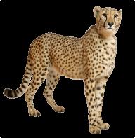 Cheetah Png Looking For Food