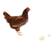 Chicken With Egg Png