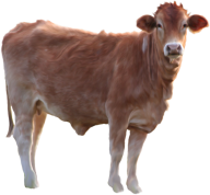 Cow Calf png