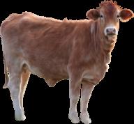 Cow Calf png