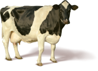 Cow Looking Png