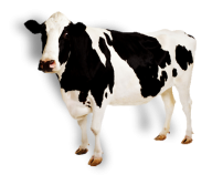 Cow Png Black and White Cow
