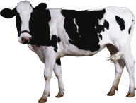 Cow Png Free Download