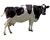 Cow Png Free