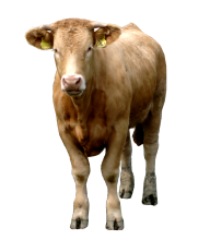 Cow Png with Message