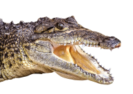 Crocodile Face Png