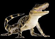 Crocodile Looking at you Png Image