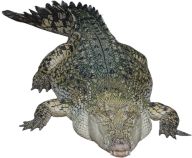 Crocodile Png Sleeping