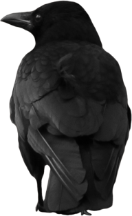 Crow Back View Png for Web Site
