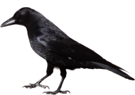 Crow Looking for Food Png