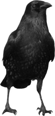 Crow Looking Png
