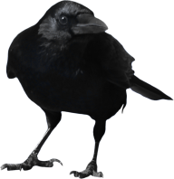 Crow Looking You Png