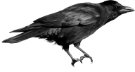 Crow On Tree Png Image
