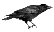 Crow Png For Web