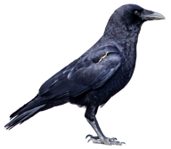 Crow Png Right Side