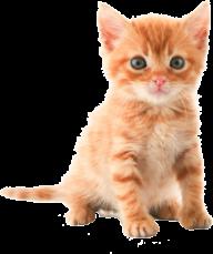 Cute Kitten png